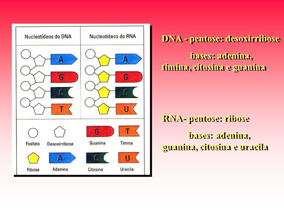 DNA - pentose: desoxirribose
