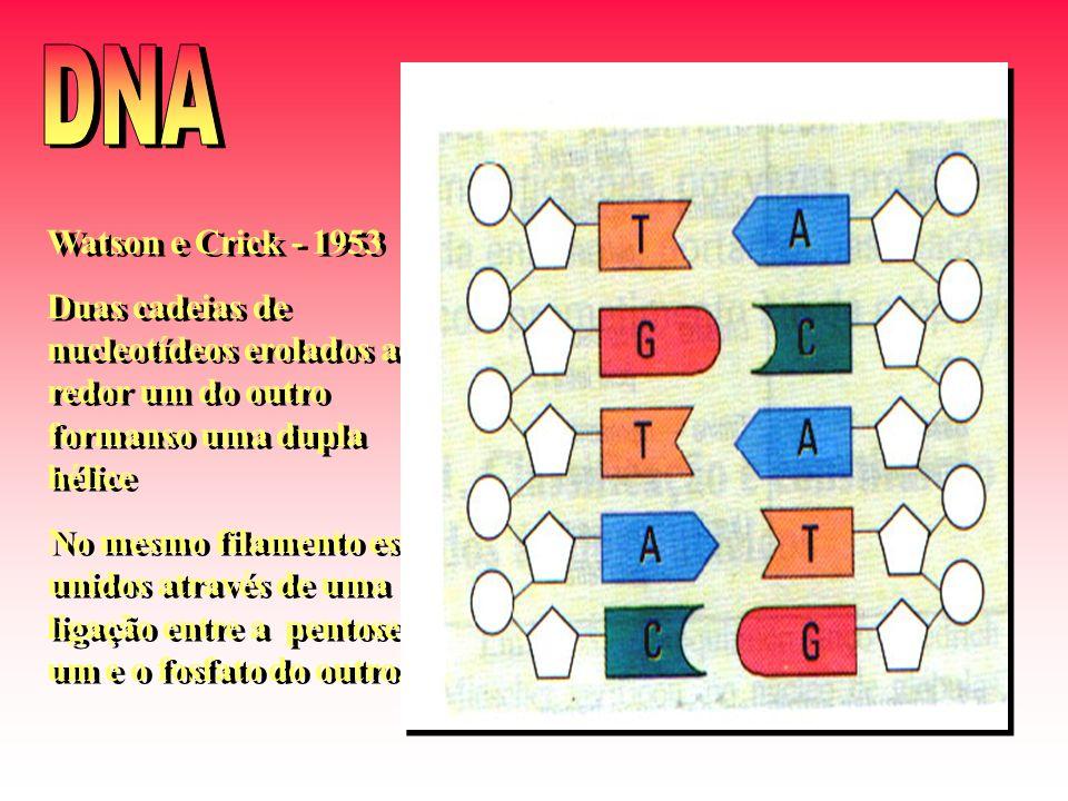 DNA Watson e Crick - 1953. Duas cadeias de nucleotídeos erolados ao redor um do outro formanso uma dupla hélice.