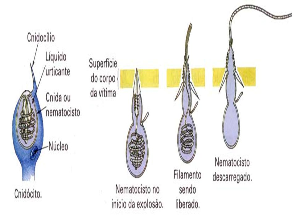 Cnidoblastos