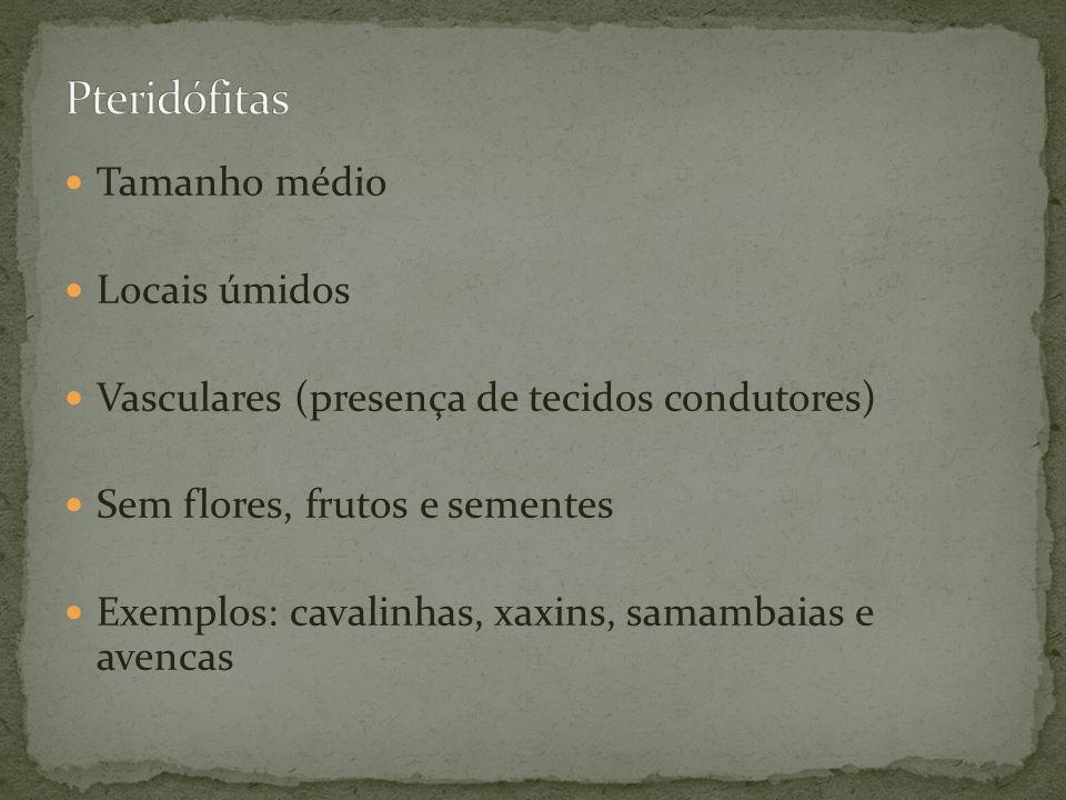 Pteridófitas Tamanho médio Locais úmidos