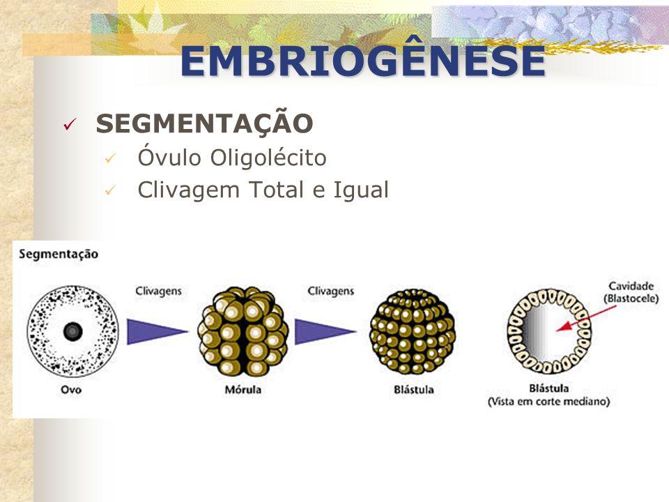 EMBRIOGÊNESE SEGMENTAÇÃO Óvulo Oligolécito Clivagem Total e Igual