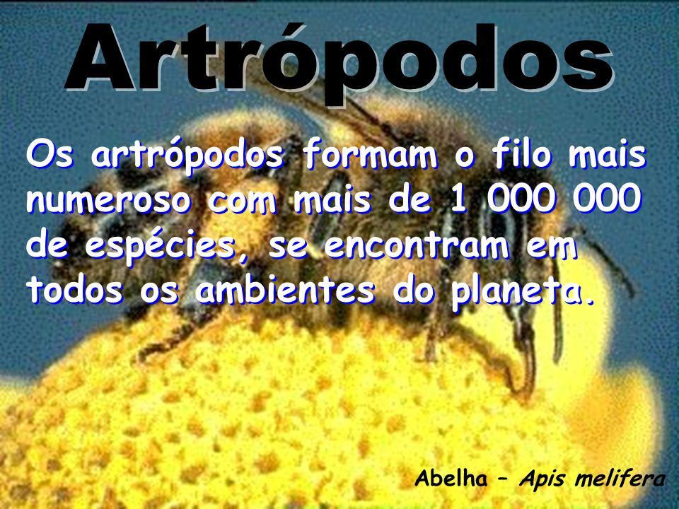Artrópodos Os artrópodos formam o filo mais numeroso com mais de 1 000 000 de espécies, se encontram em todos os ambientes do planeta.