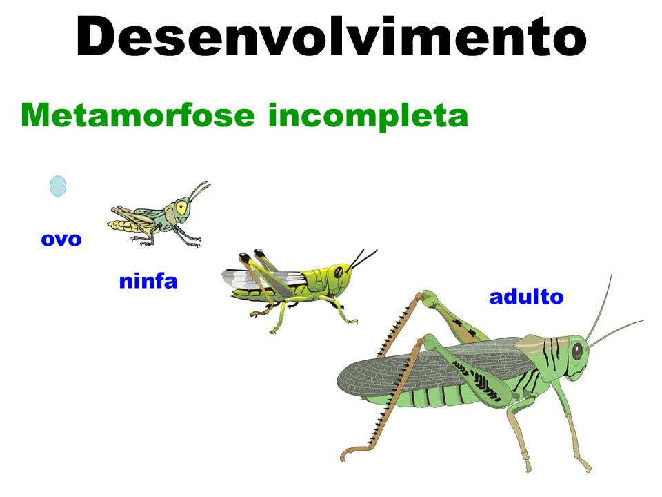 Desenvolvimento Metamorfose incompleta ovo ninfa adulto