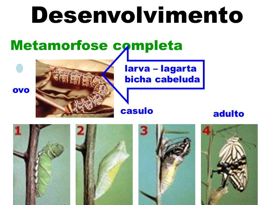 Desenvolvimento Metamorfose completa larva – lagarta bicha cabeluda