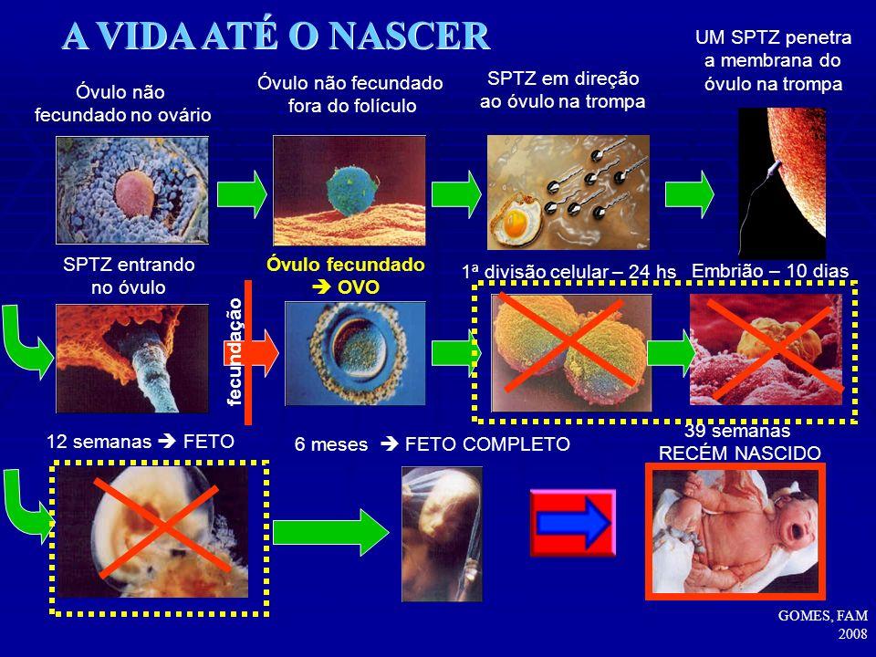 A VIDA ATÉ O NASCER UM SPTZ penetra a membrana do óvulo na trompa
