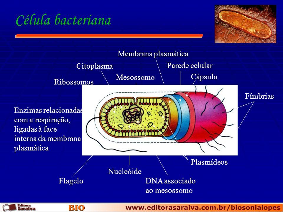 Célula bacteriana Membrana plasmática Citoplasma Parede celular
