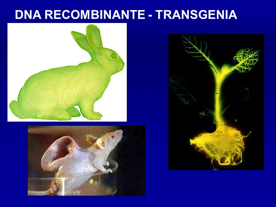 DNA RECOMBINANTE - TRANSGENIA