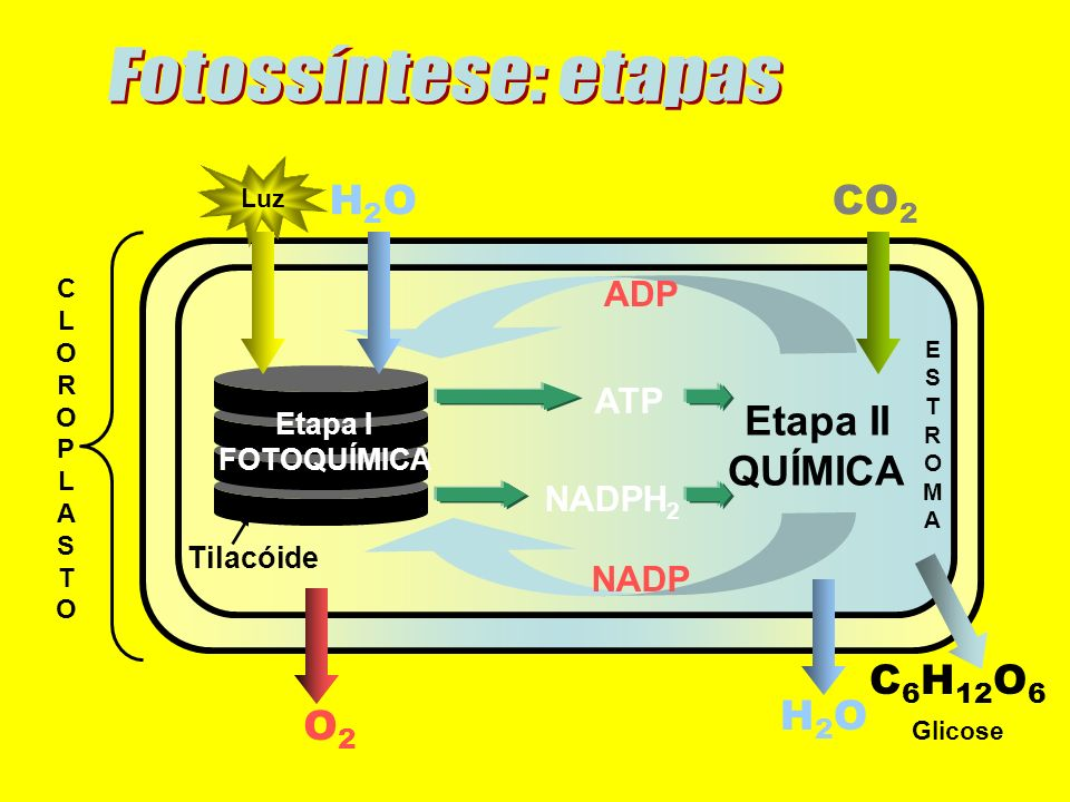 Fotossíntese: etapas H2O CO2 H2O C6H12O6 O2 Etapa II QUÍMICA ADP ATP