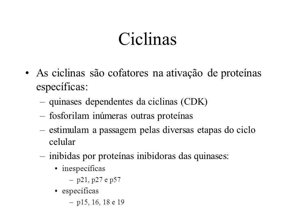 Ciclinas As ciclinas são cofatores na ativação de proteínas específicas: quinases dependentes da ciclinas (CDK)