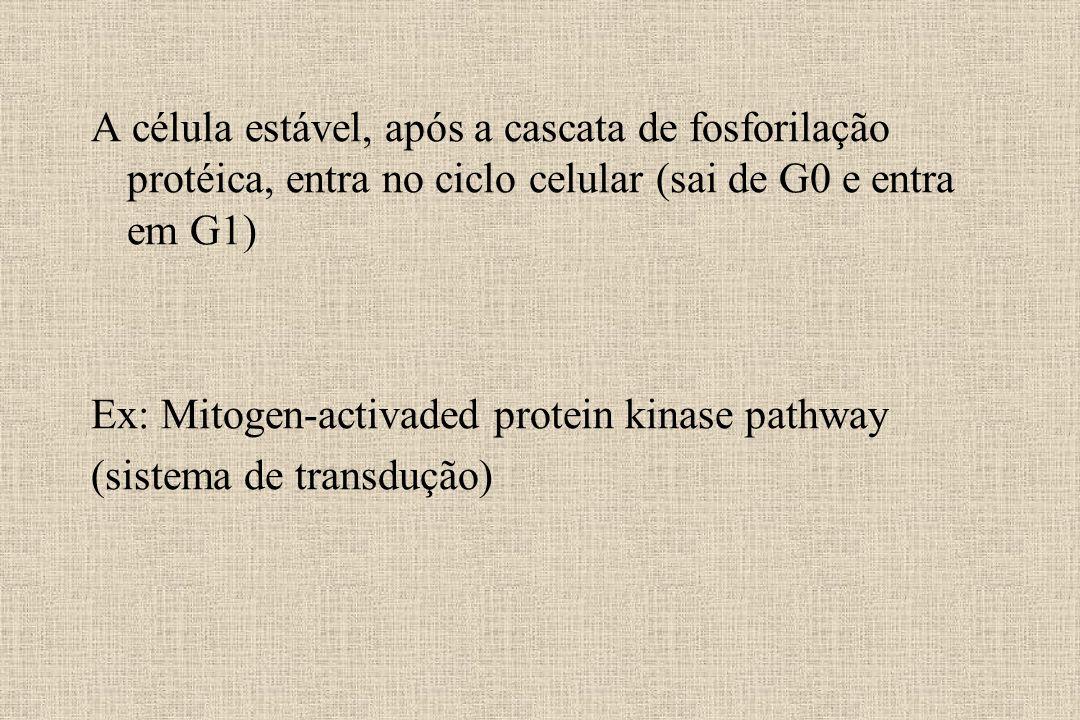 A célula estável, após a cascata de fosforilação protéica, entra no ciclo celular (sai de G0 e entra em G1)