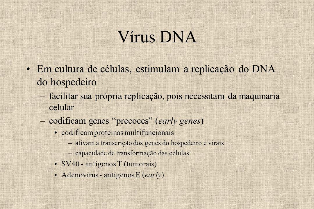 Vírus DNA Em cultura de células, estimulam a replicação do DNA do hospedeiro.
