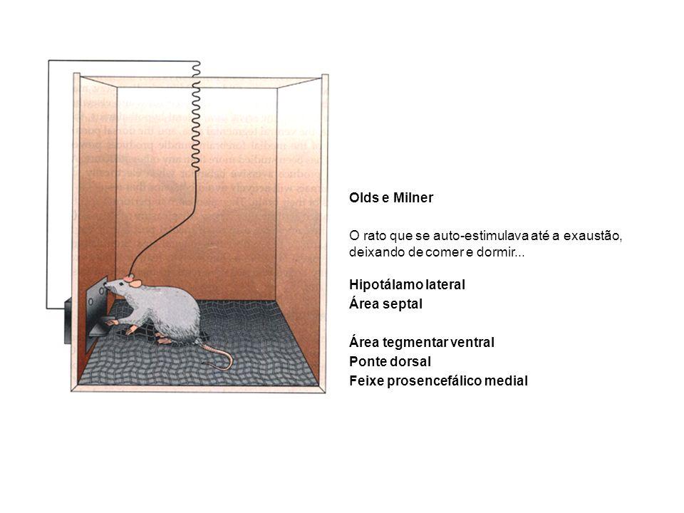 Olds e Milner O rato que se auto-estimulava até a exaustão, deixando de comer e dormir... Hipotálamo lateral.