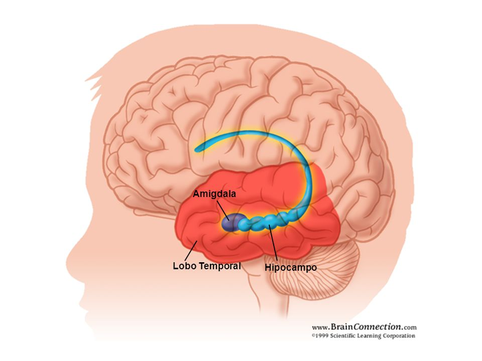 Amigdala Lobo Temporal Hipocampo