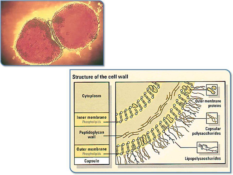 The meningococcus Neisseria meningitidis (Figure 1) is a bacterium belonging to the group of aerobic gram-negative cocci.