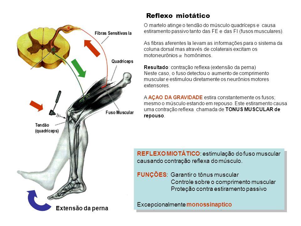 Reflexo miotáticoO martelo atinge o tendão do músculo quadríceps e causa estiramento passivo tanto das FE e das FI (fusos musculares).