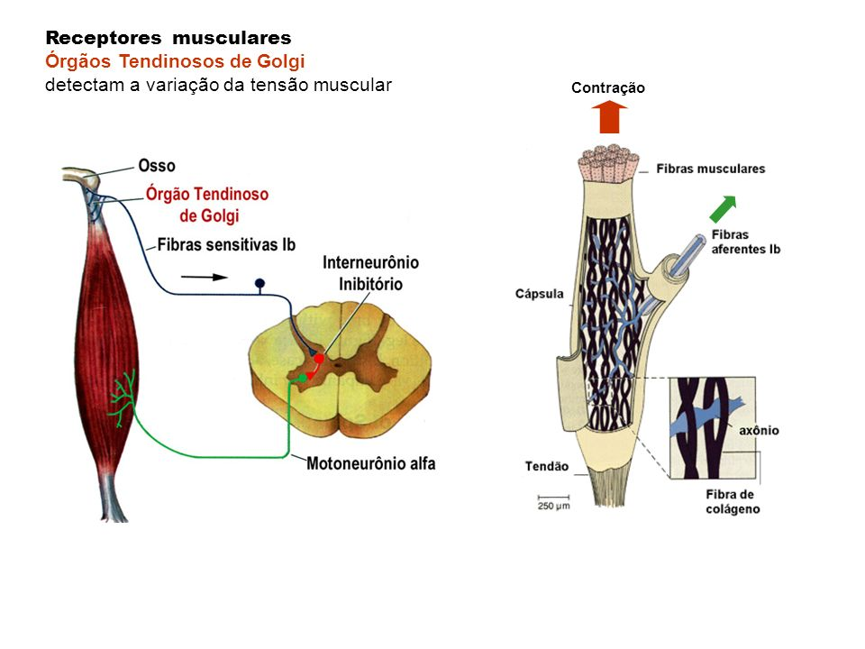 Receptores musculares Órgãos Tendinosos de Golgi