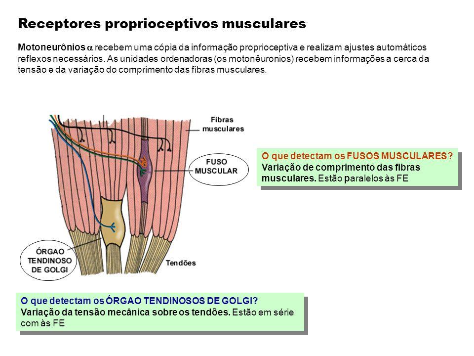 Receptores proprioceptivos musculares