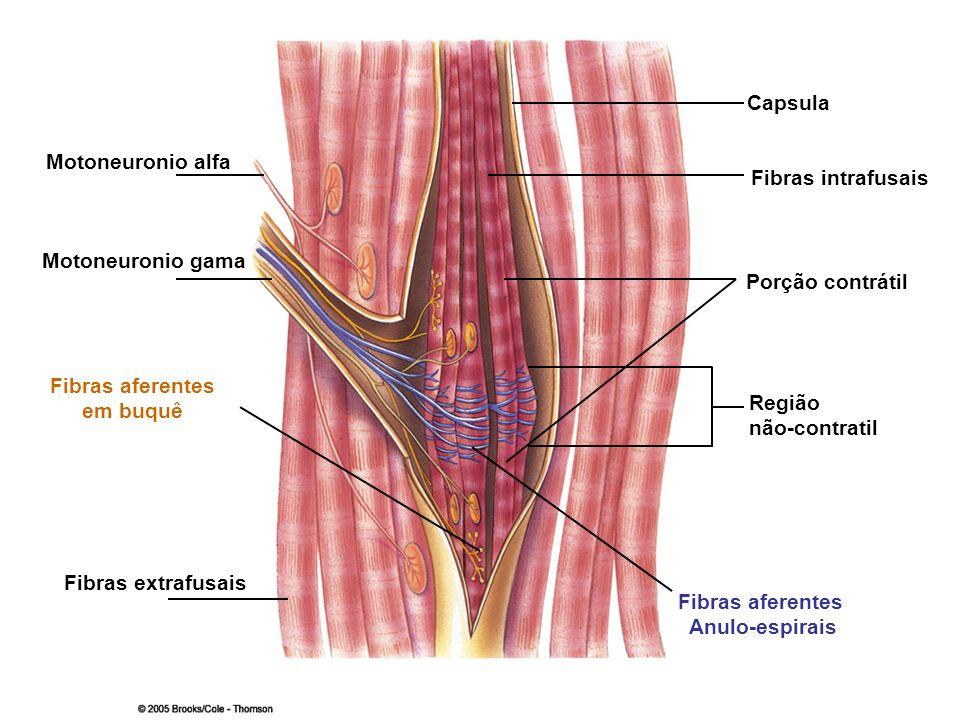 CapsulaMotoneuronio alfa. Fibras intrafusais. Motoneuronio gama. Porção contrátil. Fibras aferentes.