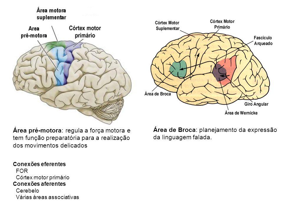 Área de Broca: planejamento da expressão da linguagem falada.