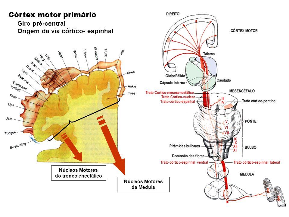 Córtex motor primário Giro pré-central Origem da via córtico- espinhal