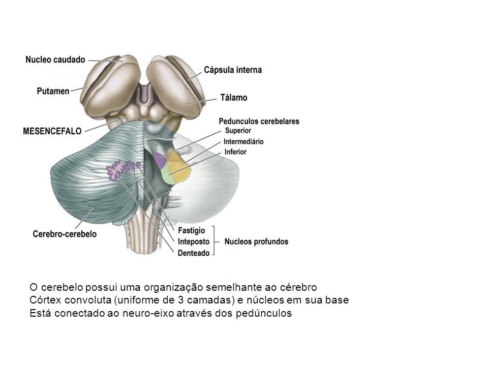 O cerebelo possui uma organização semelhante ao cérebro