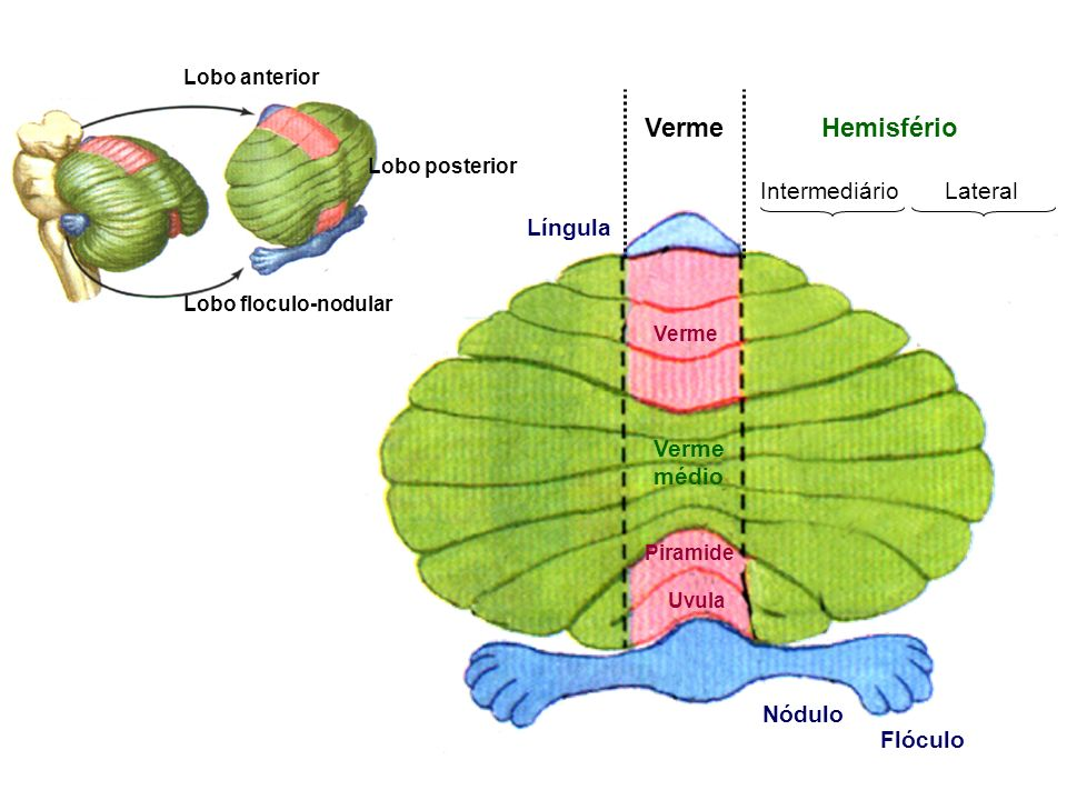 Verme Hemisfério Intermediário Lateral Língula médio Nódulo Flóculo