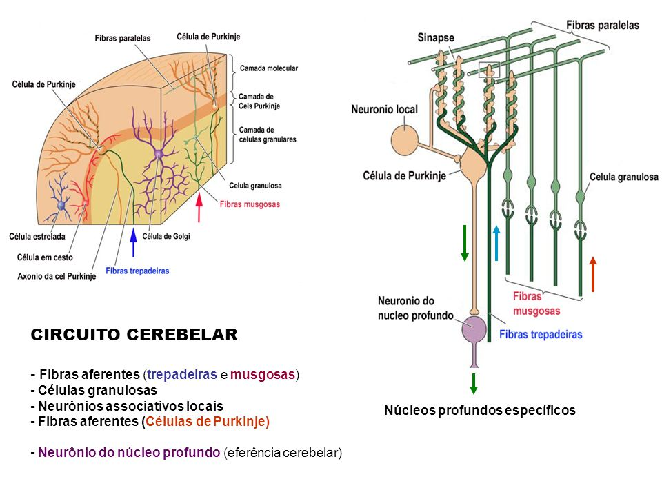 CIRCUITO CEREBELAR - Fibras aferentes (trepadeiras e musgosas)