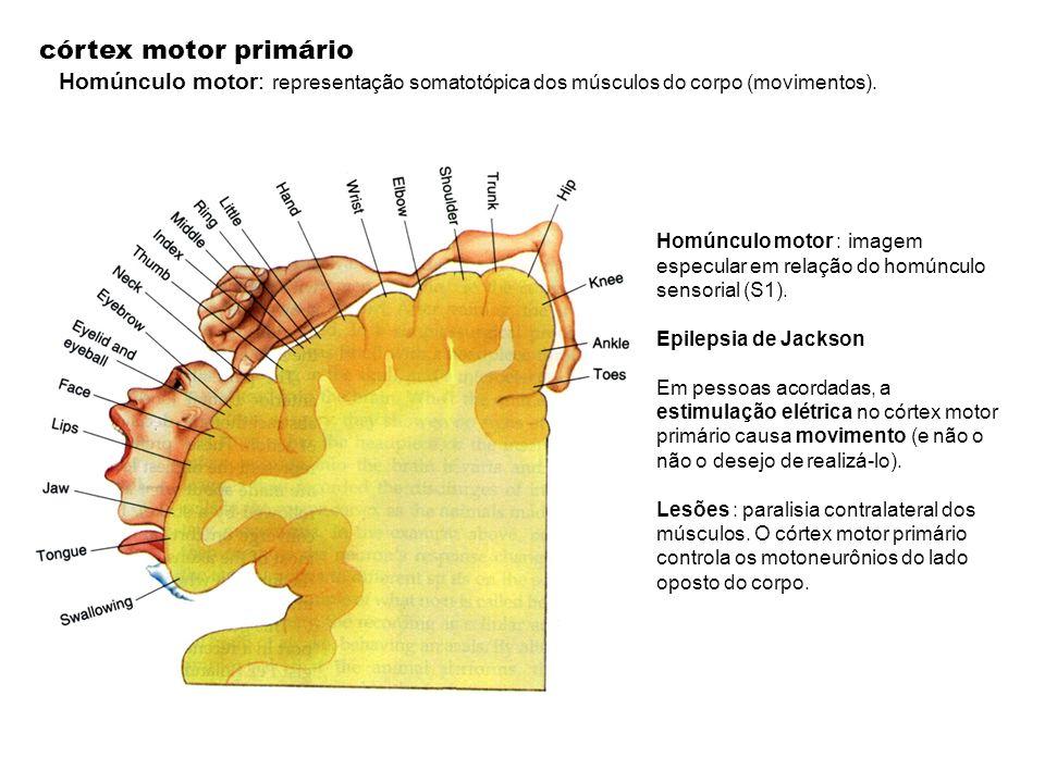 córtex motor primário Homúnculo motor: representação somatotópica dos músculos do corpo (movimentos).