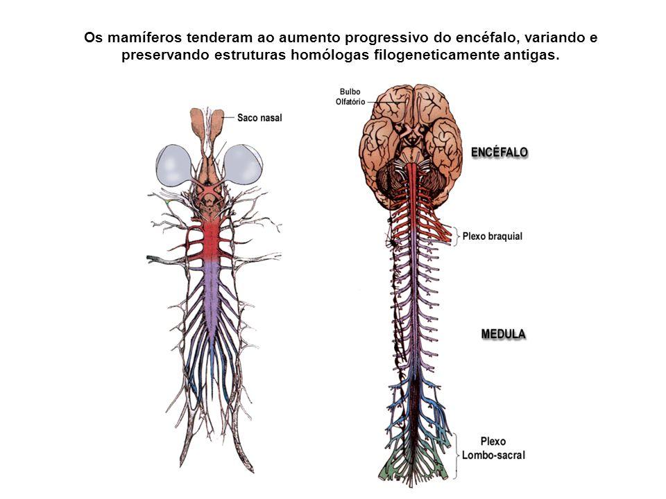 Os mamíferos tenderam ao aumento progressivo do encéfalo, variando e preservando estruturas homólogas filogeneticamente antigas.