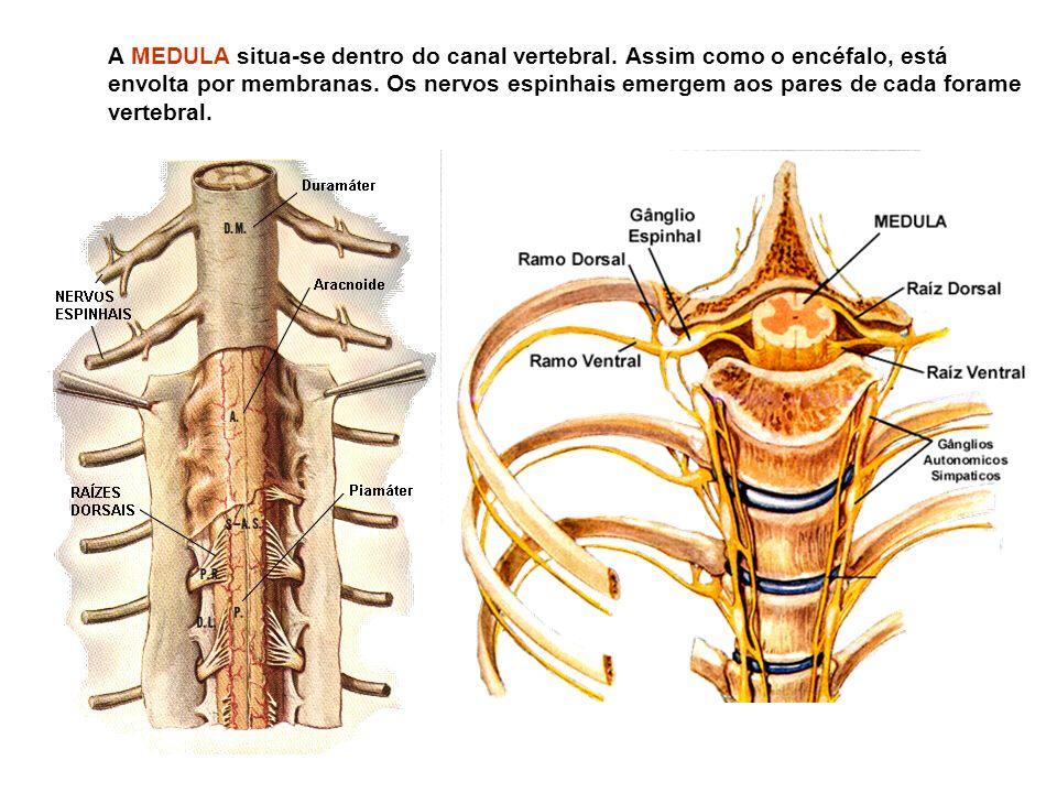 A MEDULA situa-se dentro do canal vertebral
