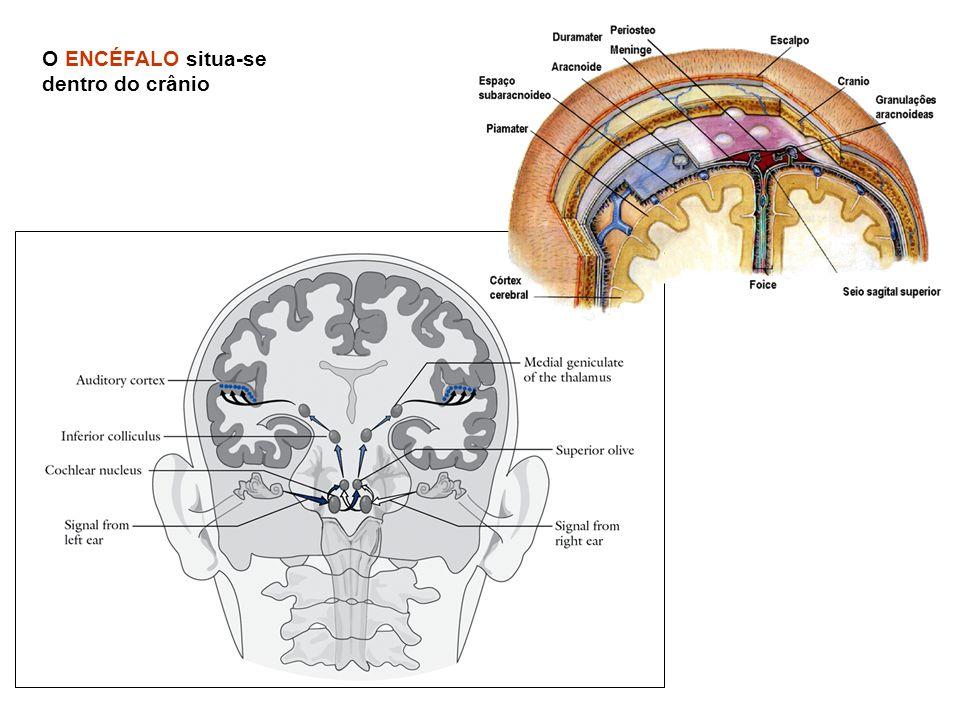 O ENCÉFALO situa-se dentro do crânio