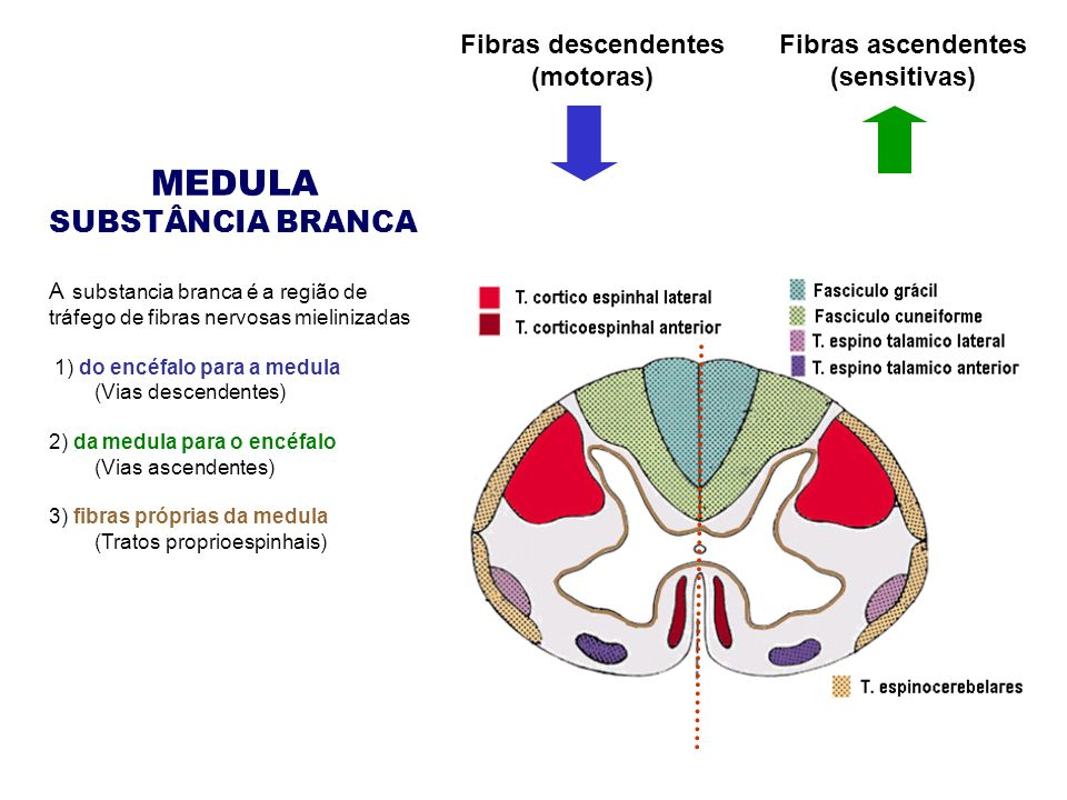 MEDULA SUBSTÂNCIA BRANCA Fibras descendentes (motoras)