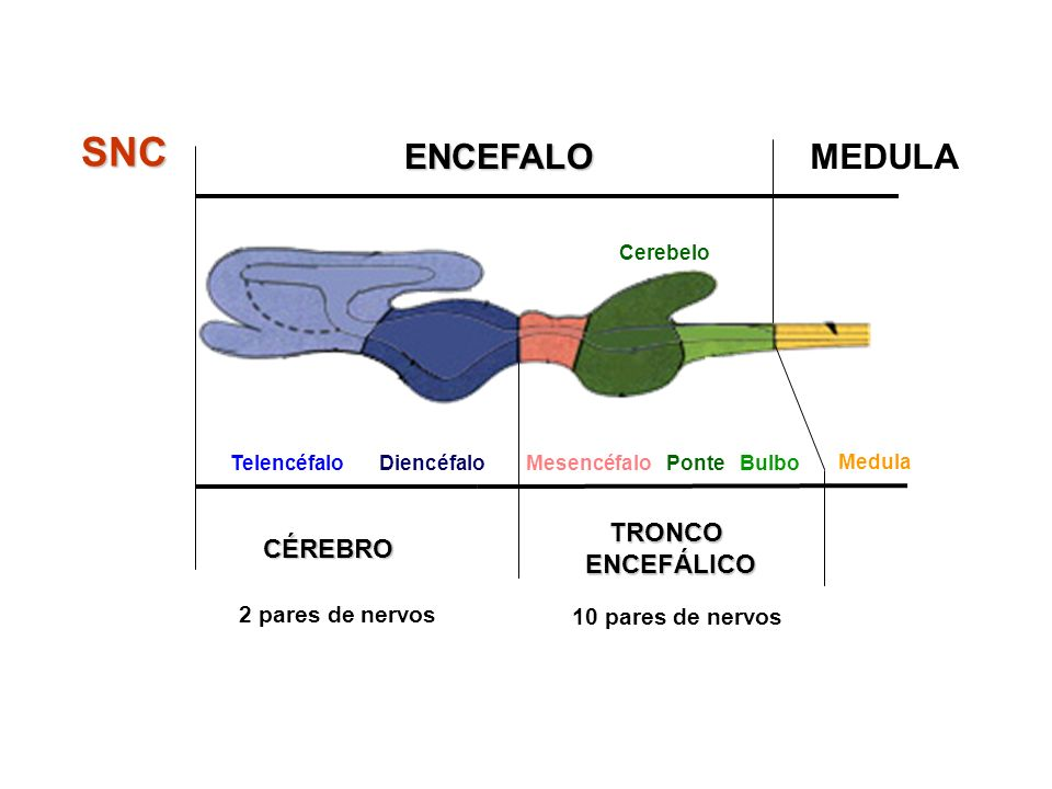 SNC ENCEFALO MEDULA TRONCO ENCEFÁLICO CÉREBRO 2 pares de nervos