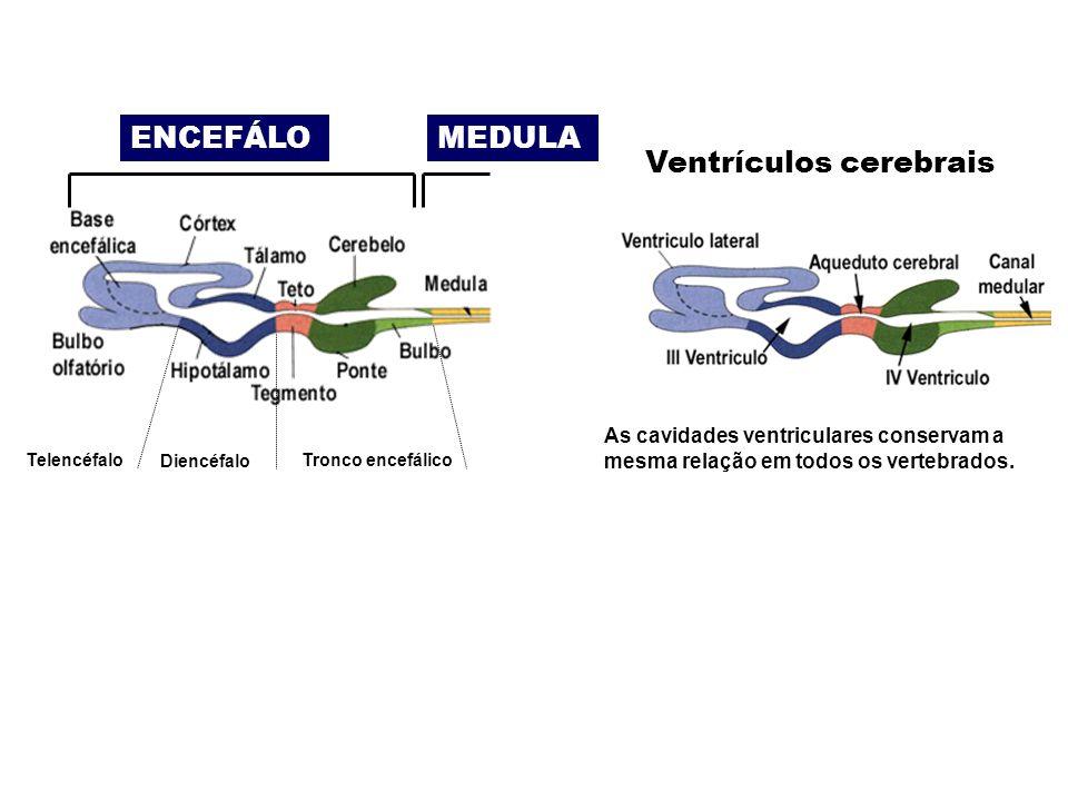 Ventrículos cerebrais