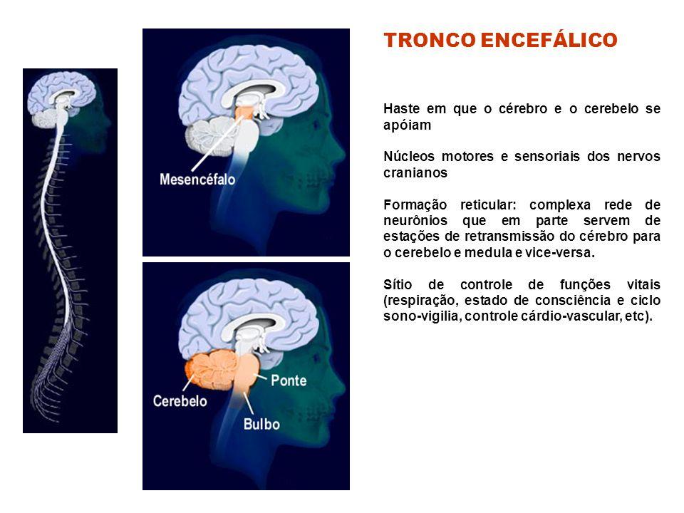 TRONCO ENCEFÁLICO Haste em que o cérebro e o cerebelo se apóiam
