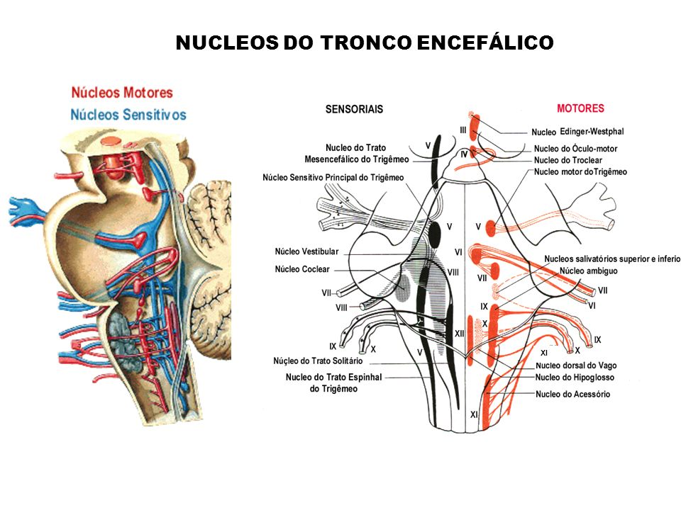 NUCLEOS DO TRONCO ENCEFÁLICO