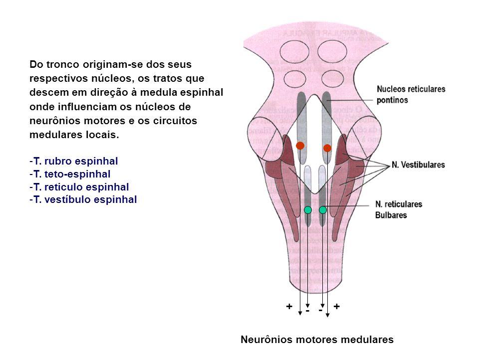 Do tronco originam-se dos seus respectivos núcleos, os tratos que descem em direção à medula espinhal onde influenciam os núcleos de neurônios motores e os circuitos medulares locais.