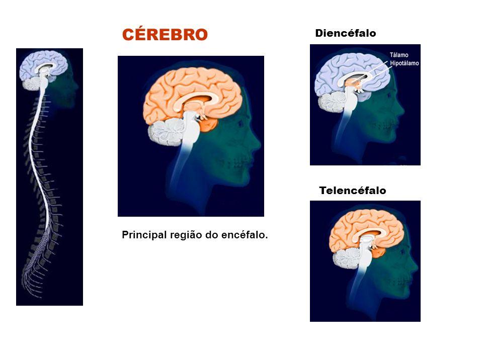 CÉREBRO Diencéfalo Telencéfalo Principal região do encéfalo.