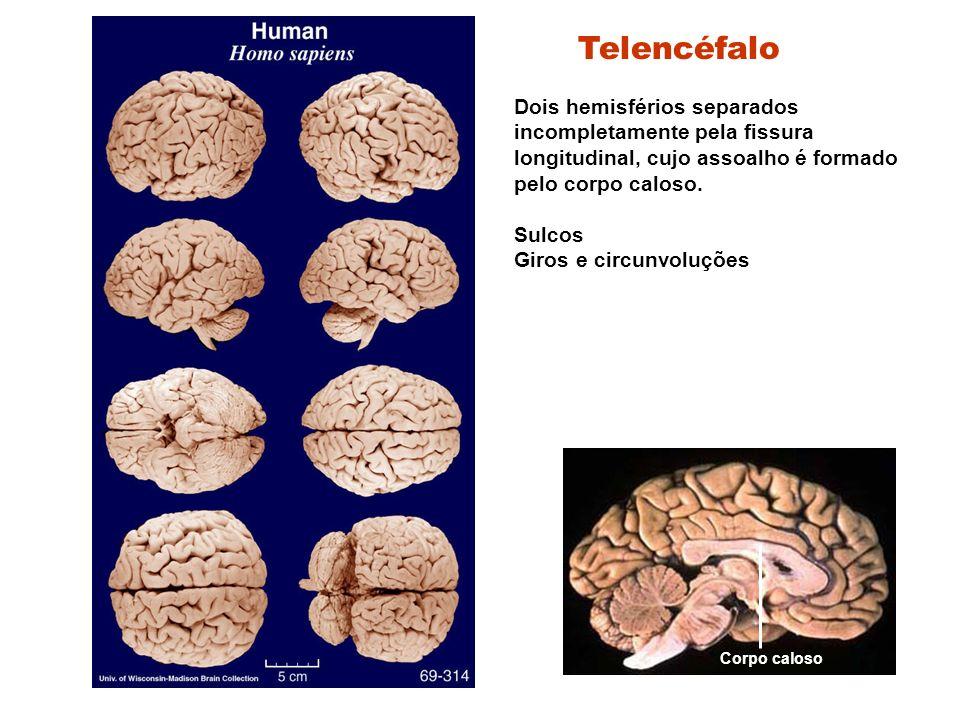 Telencéfalo Dois hemisférios separados incompletamente pela fissura longitudinal, cujo assoalho é formado pelo corpo caloso.