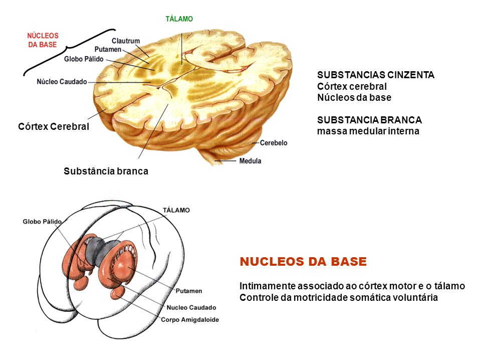 NUCLEOS DA BASE SUBSTANCIAS CINZENTA Córtex cerebral Núcleos da base