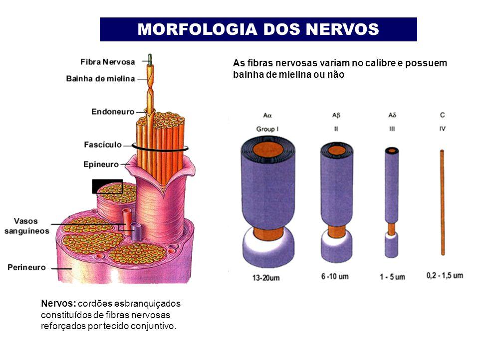 MORFOLOGIA DOS NERVOS As fibras nervosas variam no calibre e possuem bainha de mielina ou não.