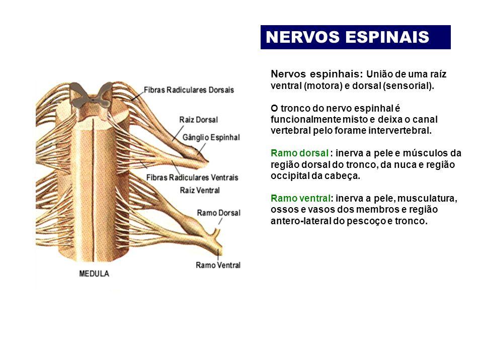 NERVOS ESPINAIS Nervos espinhais: União de uma raíz ventral (motora) e dorsal (sensorial).