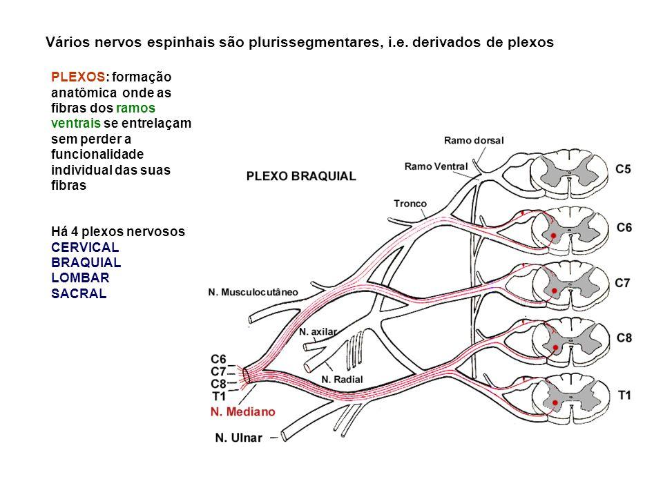 Vários nervos espinhais são plurissegmentares, i. e