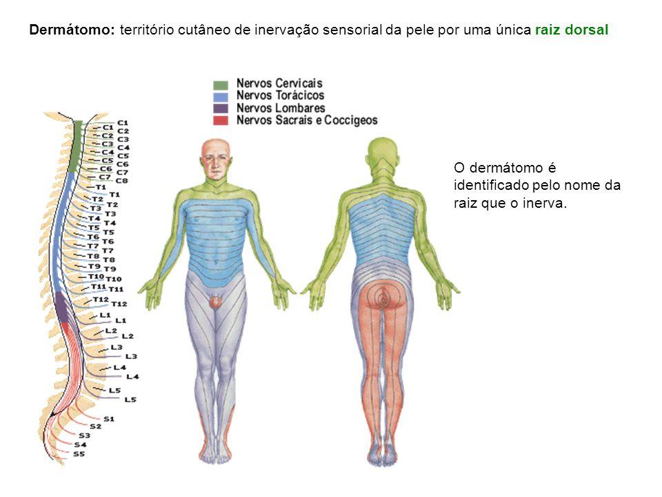Dermátomo: território cutâneo de inervação sensorial da pele por uma única raiz dorsal