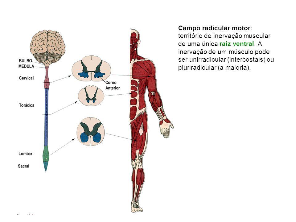 Campo radicular motor: território de inervação muscular de uma única raiz ventral.