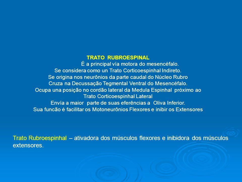 TRATO RUBROESPINAL É a principal vía motora do mesencéfalo. Se considera como un Trato Corticoespinhal Indireto.