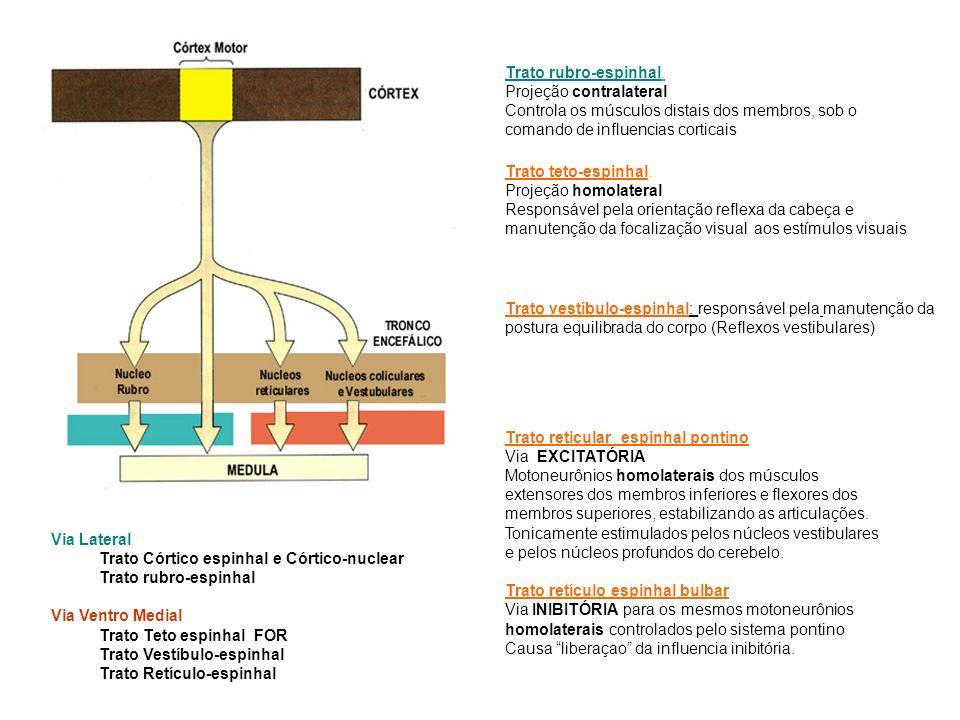 Trato rubro-espinhal. Projeção contralateral. Controla os músculos distais dos membros, sob o comando de influencias corticais.