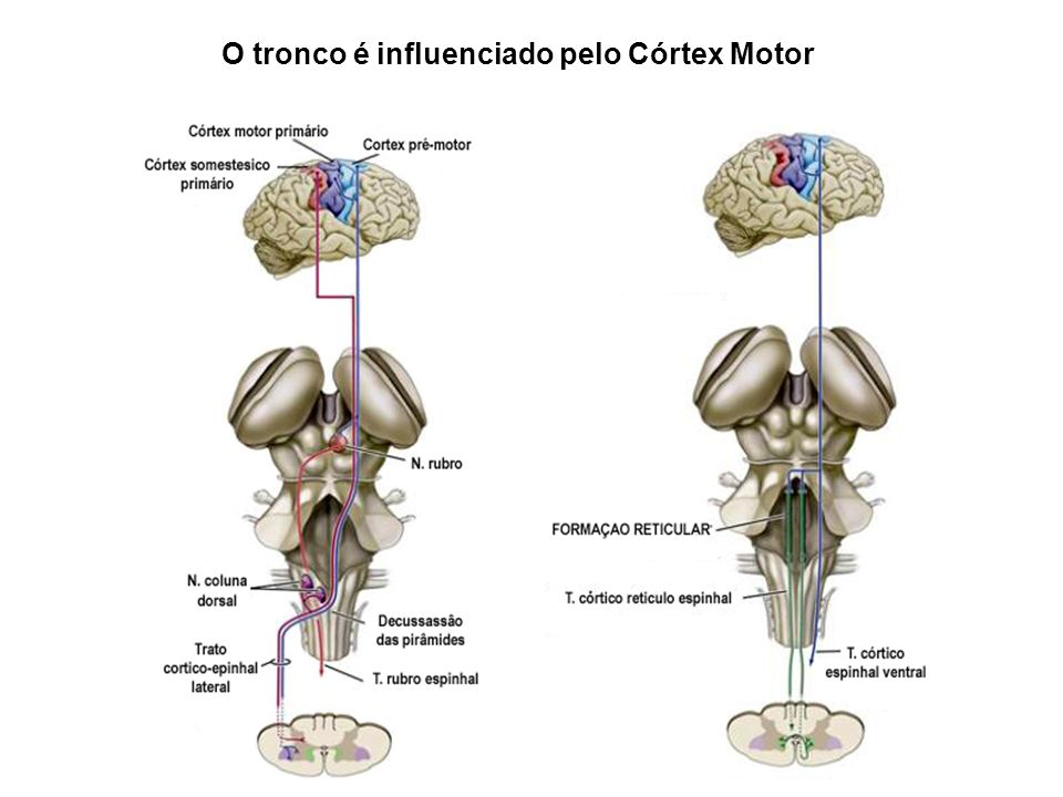 O tronco é influenciado pelo Córtex Motor