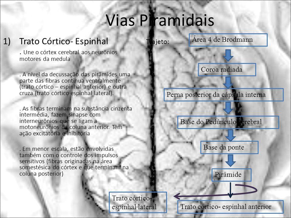 Vias Piramidais Trato Córtico- Espinhal
