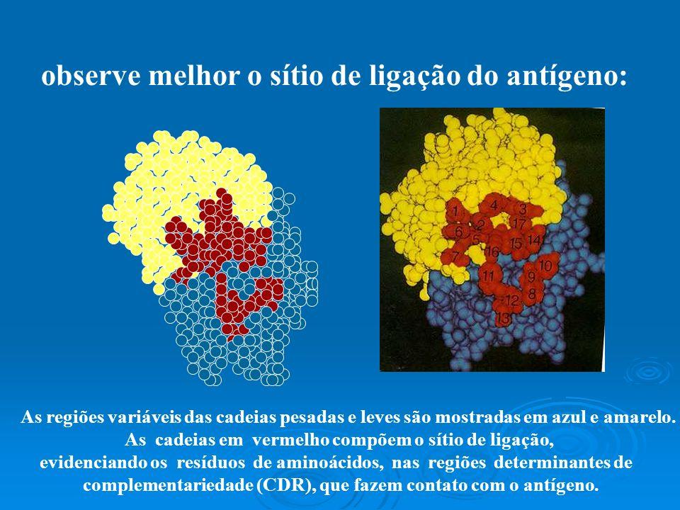 observe melhor o sítio de ligação do antígeno: